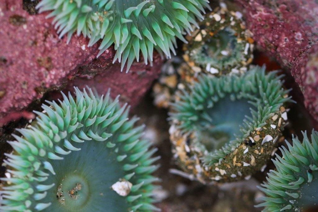 Sea Anemone in tidepool
